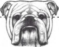 Official Bulldog Standards   World Wide Bulldogs